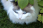 Grooming Tips for a Ragdoll Cat