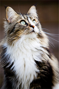 Everything You Need To Know About Maine Coon Cats
